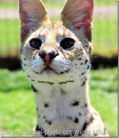 Serval cat called Serena