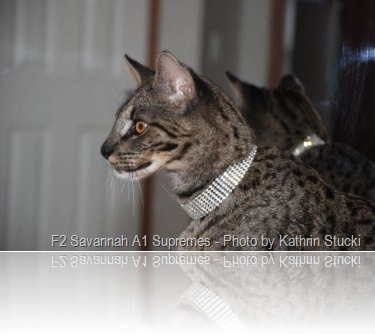 savannah-cat-male-1-year-old-s