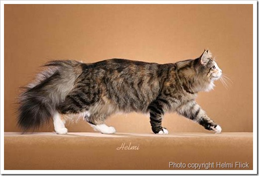 Norwegian Forest Cat walking