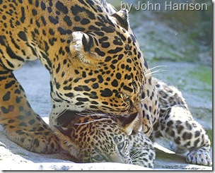 Jaguar picking up cub