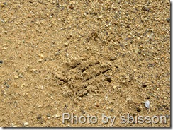 mountain lion tracks 1