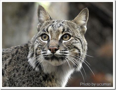 captive bobcat