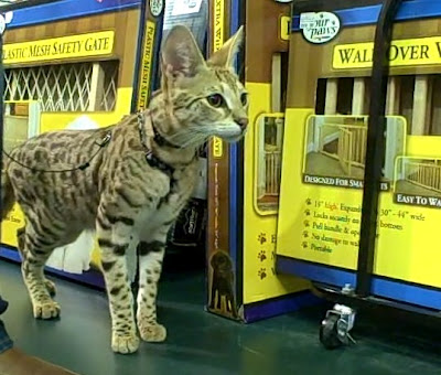 TITAN - a male F1 savannah cat in a pet store in the USA with his owner