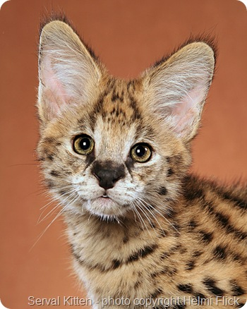 Adopting a Serval Cat in New York State  | PoC