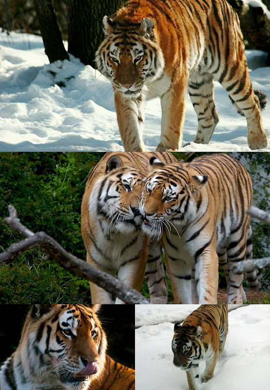 Siberian tiger collage by Flickr photographers