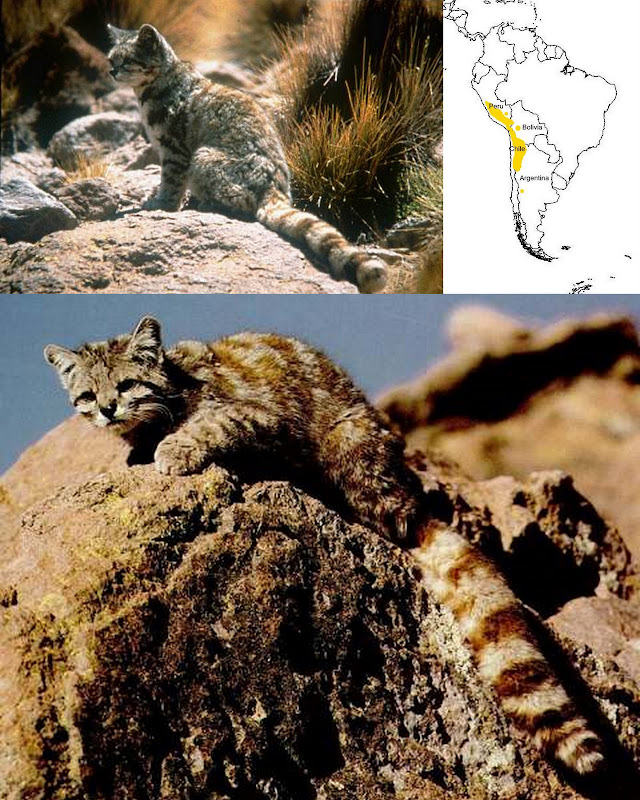 Andean Mountain cat and its range