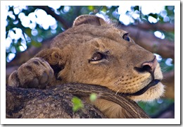 lion picture of a tree climbing lion near lake Manhara Tanzania by Catalpa 34