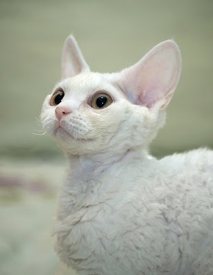White Devon Rex Cat