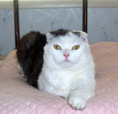 Scottish Fold Cat Bobbi