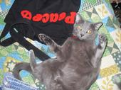 Sophie a possible Burmese cat