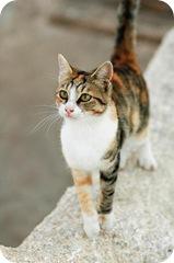 Aegean cat from the Greek islands