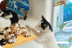 Mykonos cat and Aegean cat