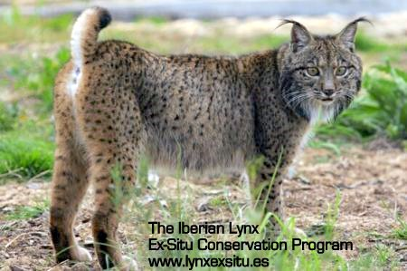 Iberian lynx in the wild