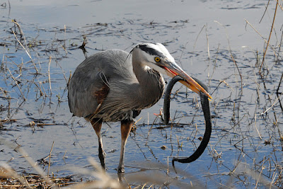 garter snake in the mouth of a Heron