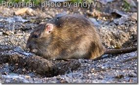 brown rat feeding on bird seed