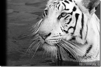 tiger wallpaper a white tiger in water in black and white