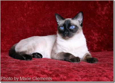 Appehead Siamese cat Priscilla perfect