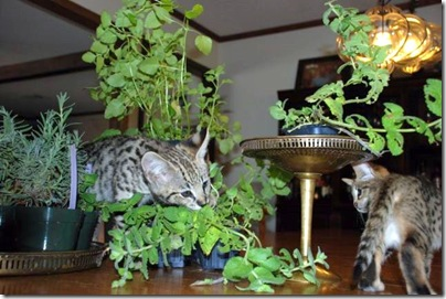 savannah-cat-amongst-herbs
