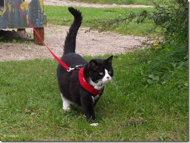 cat in harness leash