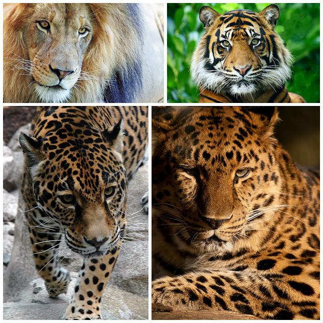 The Big Cats - Lion, tiger, jaguar and leopard