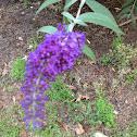 Butterfly bush.  Dark purple.  Mason mill park.