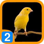 Burung Kenari V2