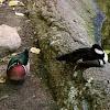 Wood Duck or Carolina Duck(male) and Hooded Merganser(male)