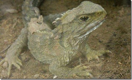 7 Animals With the Longest Life Spans - Tuatara