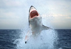 jumping-great-white-shark