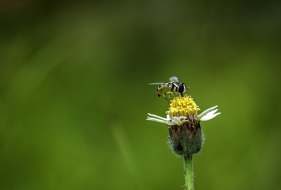 little bee by Agus Prasetya - Animals Insects & Spiders ( nikond700, macrophotography, challenge, sigma105mm, insect,  )