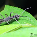 Black ant-mimic spider