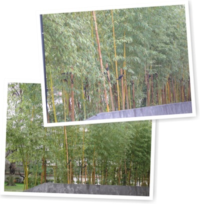 View Bamboo Trees