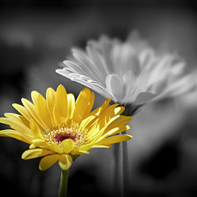 The Promise of Spring by Darlene Lankford Honeycutt - Flowers Flowers in the Wild ( deez, dl honeycut, selectively colored, daisy, yellow, flowers, focal blur macro,  )