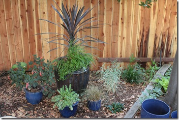 080826_cordyline_pot