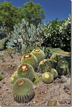 Barrel-cactus-and-prickly-pear