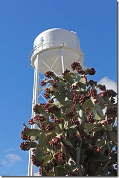 101121_UCDA_watertower pricklypear