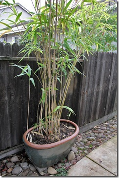 101211_Pseudosasa-japonica-in-pot