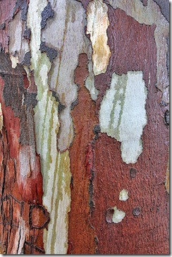 bark_eucalyptus_davis_arts_center2