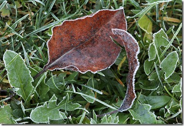 101216_leaves_and_dandelion_with_frost