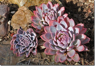 Echeveria-'Powder-Blue'
