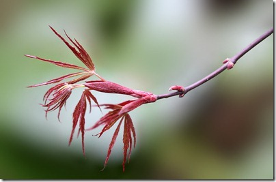 110323_Acer-palmatum-'Crimson-Queen'_01