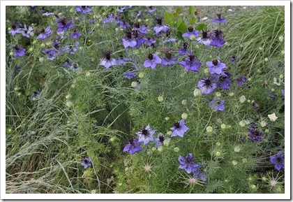 110508_Nigella-damascena_01