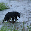 Alaskian Black Bear, Goin' On A Bear Hunt!