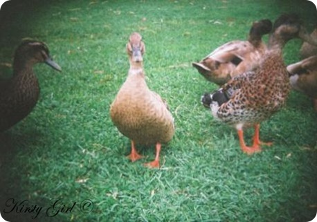holga-ducks-2
