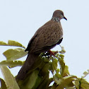Spotted Dove, Mountain Dove, Pearl-necked Dove or Lace-necked Dove
