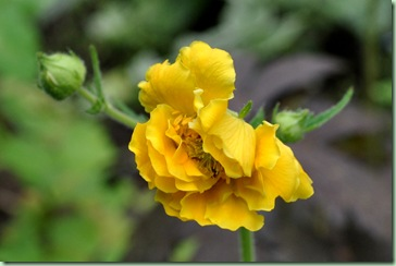 Geum chiloense 'Lady Stratheden'