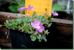 Erodium variabile 'Bishop's Form'