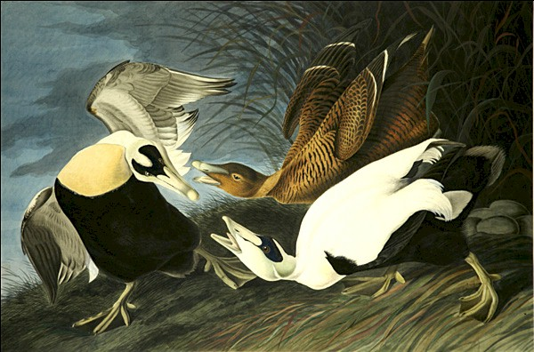 john james audubon, eider duck (zeeëend)