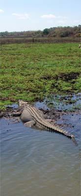 orinoco krokodil, fotograaf mij onbekend