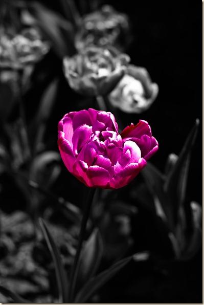 cluj-botanical-garden-tulips-5